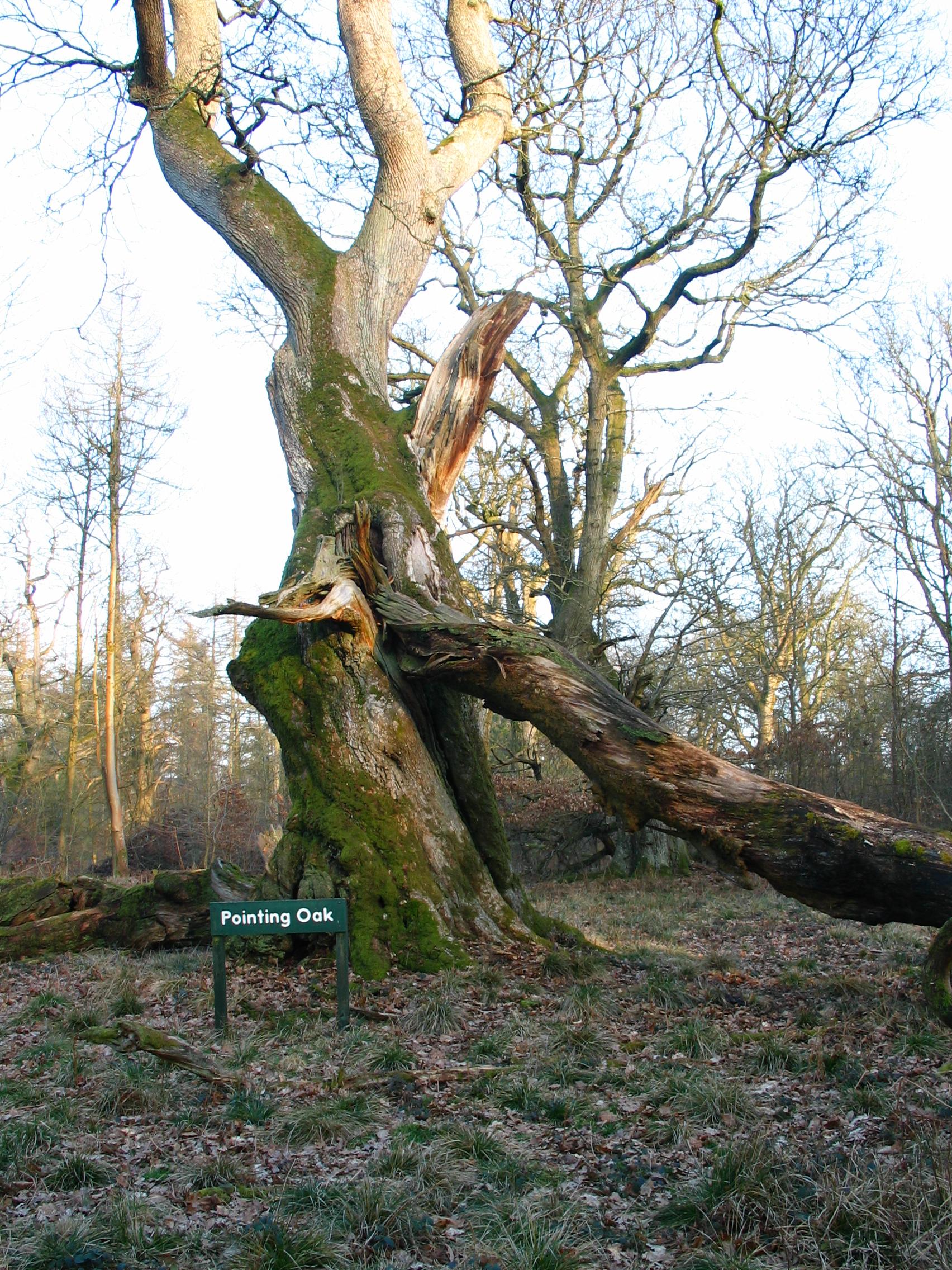 pointing oak.JPG
